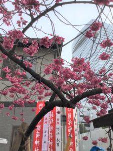 【ルーム桜木】満開